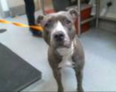 Adopt GIBBY a Gray/Blue/Silver/Salt & Pepper American Pit Bull Terrier / Mixed