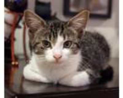 Adopt Willy a Gray or Blue (Mostly) Domestic Shorthair (short coat) cat in