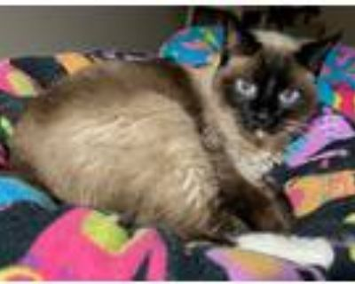 Adopt Socks a Domestic Longhair / Mixed cat in Golden, CO (31993450)