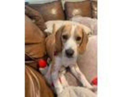 Adopt Biscotti a Beagle