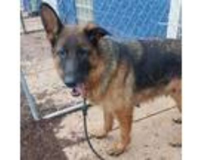 Adopt Fionna* a Black German Shepherd Dog / Mixed dog in Anderson, SC (32062746)