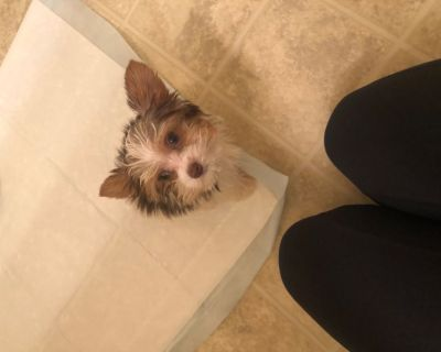 Tcup Yorkie puppy