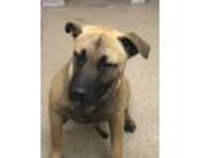 Adopt Huggins a Brown/Chocolate American Pit Bull Terrier / Mixed dog in Shelby