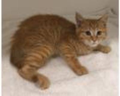 Adopt Aladdin tag 47791215 a Domestic Short Hair