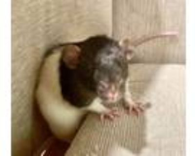 Adopt The Mayweather Boys: Houdini, Remy & Bolt a Rat