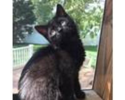 Adopt Aura a All Black Domestic Shorthair / Mixed cat in Waldorf, MD (32127820)