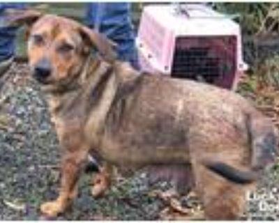 Adopt Rhonda a Basset Hound / Shepherd (Unknown Type) / Mixed dog in Washington