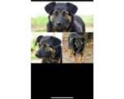 Adopt Rose a Labrador Retriever, Shepherd