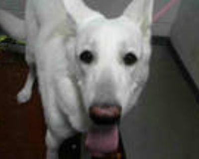 Adopt BEAR a White German Shepherd Dog / Mixed dog in Atlanta, GA (31655358)