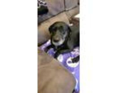 Adopt Athena Local a Black Labrador Retriever / Mixed dog in Warwick