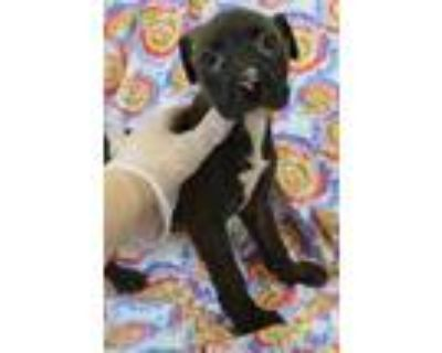 Adopt Lexi a American Staffordshire Terrier, Boxer