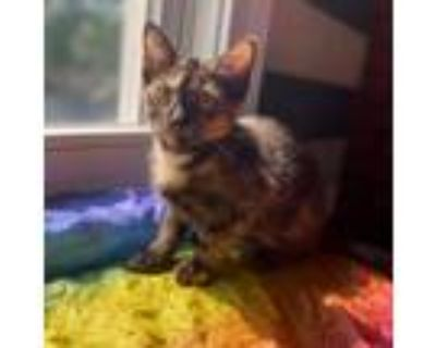 Adopt Elsa a All Black Domestic Shorthair / Mixed cat in Gibsonia, PA (32035331)