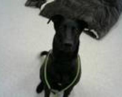 Adopt TEDDY a Labrador Retriever, Mixed Breed