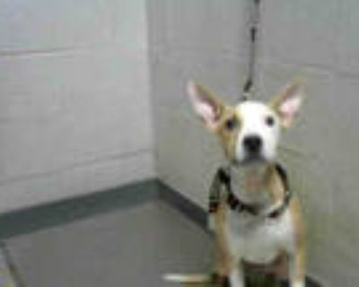 Adopt CHEESIE a White - with Brown or Chocolate American Pit Bull Terrier /