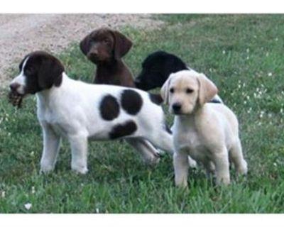 Hybrid Retriever Labrador Puppies Avialable