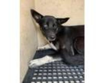 Adopt Storm a Black - with Tan, Yellow or Fawn Shepherd (Unknown Type) / Mixed