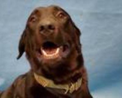 Adopt Loki a Black Labrador Retriever / Mixed dog in Golden Valley