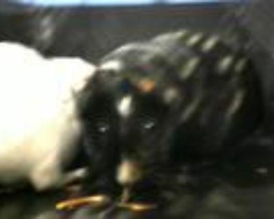 Adopt LUCIEN a Guinea Pig