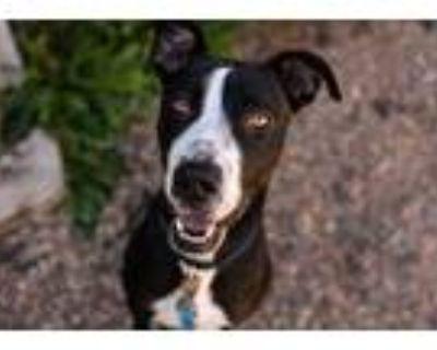Adopt Kira a Black Labrador Retriever / Mixed dog in Golden Valley