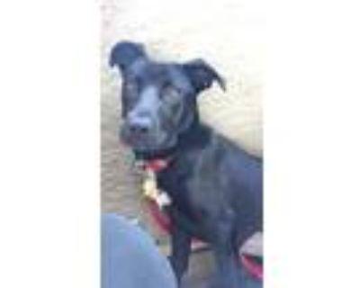 Adopt Chanel a Black Labrador Retriever / German Shepherd Dog / Mixed dog in