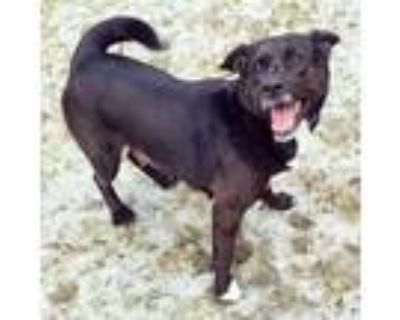 Adopt Sage a Black - with White Chow Chow / Pit Bull Terrier / Mixed dog in