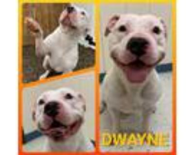 Adopt Dwayne a White American Pit Bull Terrier / Mixed dog in Binghamton