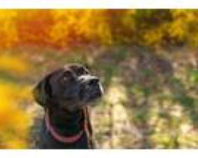 Adopt Moose a Great Dane, Rottweiler