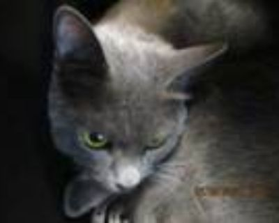Adopt Lilly a Russian Blue, Domestic Short Hair
