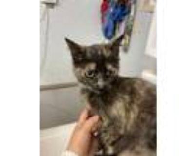 Adopt 47932651 a All Black Domestic Mediumhair / Domestic Shorthair / Mixed cat