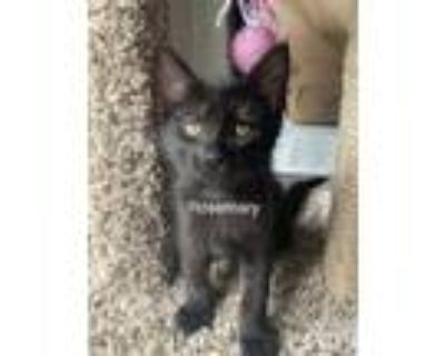 Adopt Rosemary a All Black Domestic Shorthair (short coat) cat in Mansfield