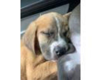Adopt Goldenseal a Tan/Yellow/Fawn Boxer / Labrador Retriever dog in Merrifield