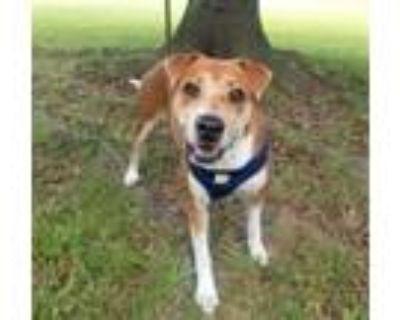 Adopt Kia a Labrador Retriever, Beagle