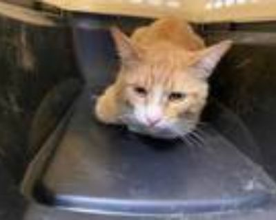 Adopt *BURT a Orange or Red Tabby Domestic Shorthair / Mixed (short coat) cat in