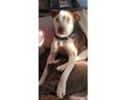 Chopper, Pit Bull Terrier For Adoption In Atlanta, Georgia