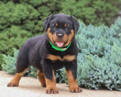 temperate Rottweiler puppies ready