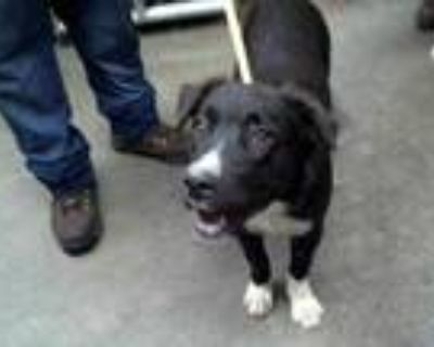 Adopt CHRISSANDRA a Black - with White Border Collie / Mixed dog in Phoenix