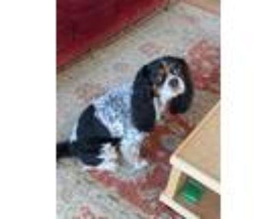 Adopt Duchess a Tricolor (Tan/Brown & Black & White) Cavalier King Charles