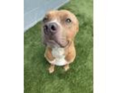 Adopt Peanut a Mixed Breed (Large) / Pit Bull Terrier / Mixed dog in Portsmouth
