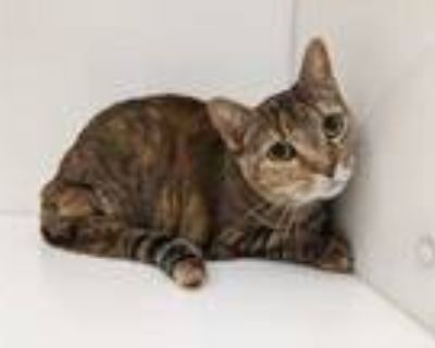 Adopt Sunshine a Brown or Chocolate Domestic Shorthair / Mixed cat in Boulder