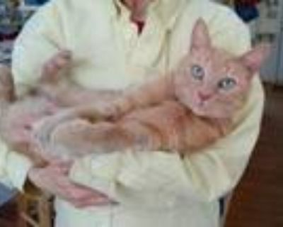 Adopt Mr. Ginger a Domestic Short Hair