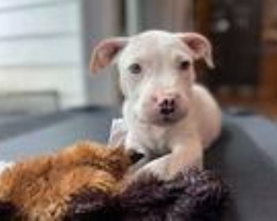 Sequoia, Pit Bull Terrier For Adoption In Derwood, Maryland