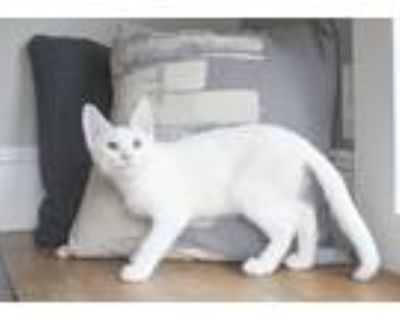 Adopt Flop a White Domestic Shorthair (short coat) cat in Dayton, OH (31992986)