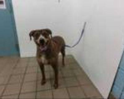 Adopt ABRA a Red/Golden/Orange/Chestnut - with Black Plott Hound / Mixed dog in