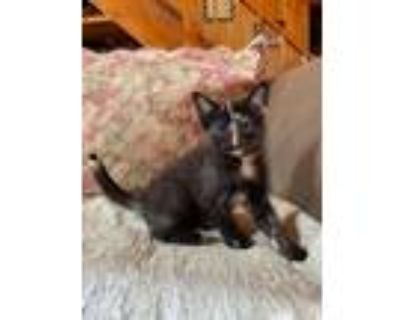 Adopt Monica a Brown or Chocolate Domestic Shorthair / Mixed cat in Morgantown