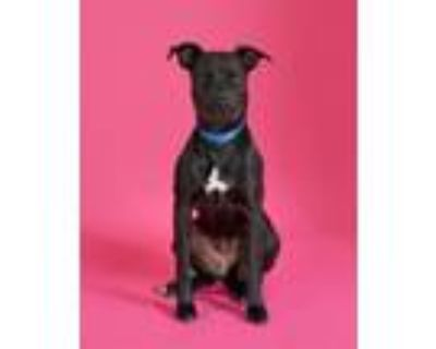 Adopt Nina a Labrador Retriever, Mixed Breed