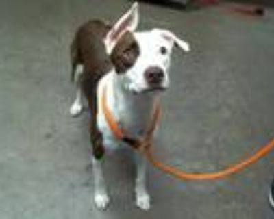 Adopt NALA a Brown/Chocolate - with White American Pit Bull Terrier / Mixed dog