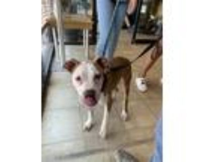 Adopt ZEUS a Tan/Yellow/Fawn - with White American Pit Bull Terrier / Mixed dog