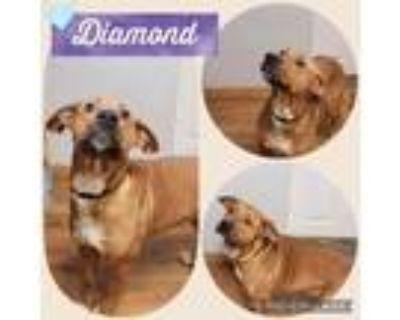 Adopt Diamond a Labrador Retriever, Terrier