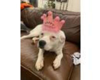 Adopt Perla a Border Collie, Pit Bull Terrier