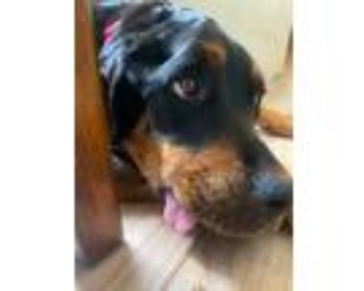 Adopt Coco a Black - with Brown, Red, Golden, Orange or Chestnut Rottweiler /